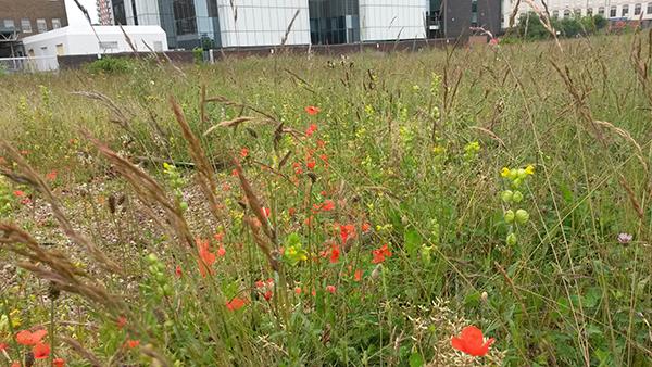 Common Meadow